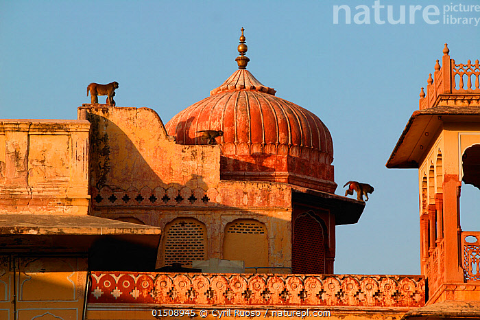 Rhesus macaque (Macaca mulatta) mother and baby sat on roof of palace, Jaipur, India. Non-ex  ,  catalogue8,,Animal,Vertebrate,Mammal,Monkey,Macaque,Animalia,Animal,Wildlife,Vertebrate,Mammalia,Mammal,Primate,Primates,Cercopithecidae,Monkey,Old World Monkeys,Macaca,Macaque,Papionini,Macaca mulatta,Agility,Agile,Mischief,Two,Nobody,Asia,Indian Subcontinent,India,Jaipur,Building,Dome,Domed,Domes,Roof,Roofs,Rooftop,Rooftops,Wall,Facade,Facades,Front,Palace,Palaces,Light,Lights,Sunlight,Outdoors,Open Air,Outside,Day,Family,Mother baby,Mother-baby,mother,Two animals,Parent baby,  ,  Cyril Ruoso