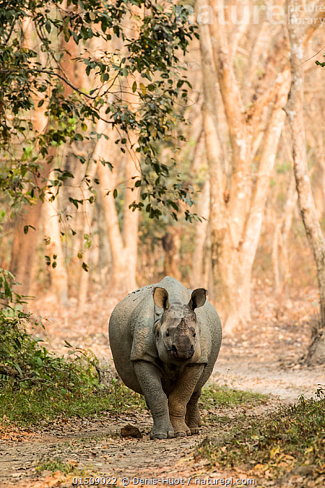 Indian rhinoceros (Rhinoceros unicornis), male, Kaziranga National Park, Assam, India  ,  high15,,Animal,Vertebrate,Mammal,Odd toed ungulate,Rhinoceros,Indian rhinoceros,Animalia,Animal,Wildlife,Vertebrate,Mammalia,Mammal,Perissodactyla,Odd toed ungulate,Rhinocerotidae,Rhinoceros,Rhino,Rhinoceros unicornis,Indian rhinoceros,Greater One-horned Rhino,Great Indian Rhinoceros,Walking,Alone,Solitude,Solitary,Nobody,Asia,Indian Subcontinent,India,Front View,View From Front,Male Animal,Plant,Tree Trunk,Path,Outdoors,Open Air,Outside,Day,Woodland,Forest,Assam,Kaziranga National Park,Endangered species,threatened,Vulnerable  ,  Denis-Huot