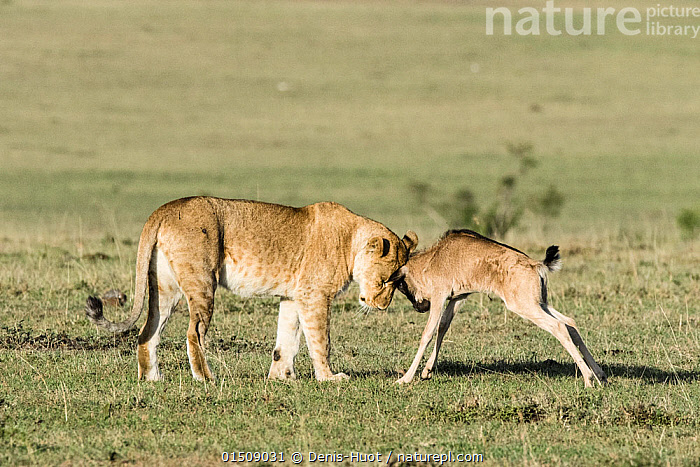 Lioness (Panthera leo) playing with a lost baby Wildebeest (Connochaetes taurinus), Masai-Mara Game Reserve, Kenya, high15,,Animal,Vertebrate,Mammal,Carnivore,Cat,Big cat,Bovid,Wildebeest,Blue Wildebeest,Lion,Animalia,Animal,Wildlife,Vertebrate,Mammalia,Mammal,Carnivora,Carnivore,Felidae,Cat,Panthera,Big cat,Panthera leo,Artiodactyla,Even-toed ungulates,Bovidae,Bovid,ruminantia,Ruminant,Connochaetes,Wildebeest,Connochaetes taurinus,Blue Wildebeest,Common Wildebeest,Care,Caring,Friendship,Two,Nobody,Affectionate,Affection,Africa,East Africa,Kenya,Head To Head,Young Animal,Juvenile,Babies,Plain,Plains,Outdoors,Open Air,Outside,Day,Adoption,Adoptions,Animal Behaviour,Playing,Predation,Reserve,Lion,Mixed species,Behaviour,Play,Playful,Unlikely friends,Unusual friends,Protected area,Two animals,Game reserve,, Denis-Huot