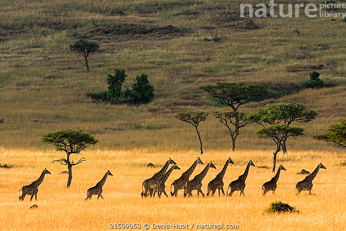 Masai giraffe (Giraffa cameleopardalis tippelskirchi) herd walking across savanna in dry season, Masai-Mara Game Reserve, Kenya, catalogue8,,Animal,Vertebrate,Mammal,Giraffid,Giraffe,Masai Giraffe,Animalia,Animal,Wildlife,Vertebrate,Mammalia,Mammal,Artiodactyla,Even-toed ungulates,Giraffidae,Giraffid,Ruminant,Giraffa,Giraffe,Giraffa camelopardalis,Moving After,Following,Follow,Follows,Direction,On The Move,Rebellion,Disobedience,Disobedient,Rebel,Rebellions,Rebels,Revolutionary,Togetherness,Close,Together,Unity,Group Of Animals,Herd,Herds,Group,Large Group,Nobody,Africa,East Africa,Kenya,Side View,Hill,Hills,Hillside,Hillsides,Plain,Plains,Outdoors,Open Air,Outside,Day,Savanna,Tropical climate,Dry season,Habitat,Masai Giraffe,Maasai Giraffe,Moving,Purpose,, Denis-Huot