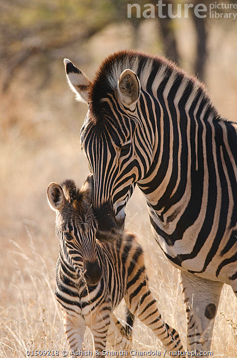 Plains zebra (Equus quagga) grooming foal, Kruger National Park, South Africa, July., high15,,Animal,Vertebrate,Mammal,Odd toed ungulate,Common Zebra,Animalia,Animal,Wildlife,Vertebrate,Mammalia,Mammal,Perissodactyla,Odd toed ungulate,Equidae,Equus,Equus quagga,Common Zebra,Painted Zebra,Plains Zebra,Equus burchelli,Grooming,Nuzzling,Care,Caring,Two,Nobody,Pattern,Patterned,Patterns,Stripes,Affectionate,Affection,Africa,Southern Africa,South Africa,Close Up,Front View,View From Front,Young Animal,Juvenile,Babies,Baby Mammal,Foal,Foals,Outdoors,Open Air,Outside,Day,Animal Behaviour,Reserve,Family,Mother baby,Behaviour,Mother-baby,mother,Protected area,National Park,Two animals,South African,Parent baby,, Ashish & Shanthi Chandola