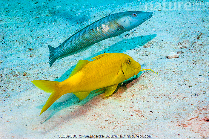 Cigar wrasse (Cheilio inermis) following a Yellowsaddle goatfish (Parupeneus cyclostomus) hunting for food.  Egypt, Red Sea.  ,  Animal,Vertebrate,Ray-finned fish,Percomorphi,Goatfish,Yellowsaddle goatfish,Animalia,Animal,Wildlife,Vertebrate,Actinopterygii,Ray-finned fish,Osteichthyes,Bony fish,Fish,Perciformes,Percomorphi,Acanthopteri,Mullidae,Goatfish,Red mullet,Parupeneus,Parupeneus cyclostomus,Yellowsaddle goatfish,Mullus cyclostomus,Upeneus chryserythrus,Upeneus oxycephalus,Moving After,Following,Follow,Follows,Two,Profile,Side View,Red Sea,Marine,Water,Animal Behaviour,Predation,Hunting,Mixed species,Behaviour,Saltwater,Sea,Moving,Marine  ,  Georgette Douwma
