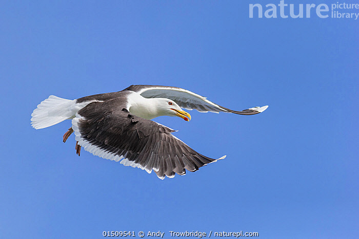 Lesser black-backed gull (Larus fuscus) in flight. Troms, Norway. July.  ,  Animal,Vertebrate,Birds,Gull,Larinae,Lesser black backed gull,Animalia,Animal,Wildlife,Vertebrate,Aves,Birds,Charadriiformes,Laridae,Gull,Seabird,Larus,Larinae,Larus fuscus,Lesser black backed gull,Flying,Europe,Northern Europe,North Europe,Nordic Countries,Scandinavia,Norway,Tromso,Troms,Coloured Background,Blue Background,Cutout,Wing,Wings,Sky,Alula,Bastard wing,Flight,Seagulls,Blue sky  ,  Andy  Trowbridge