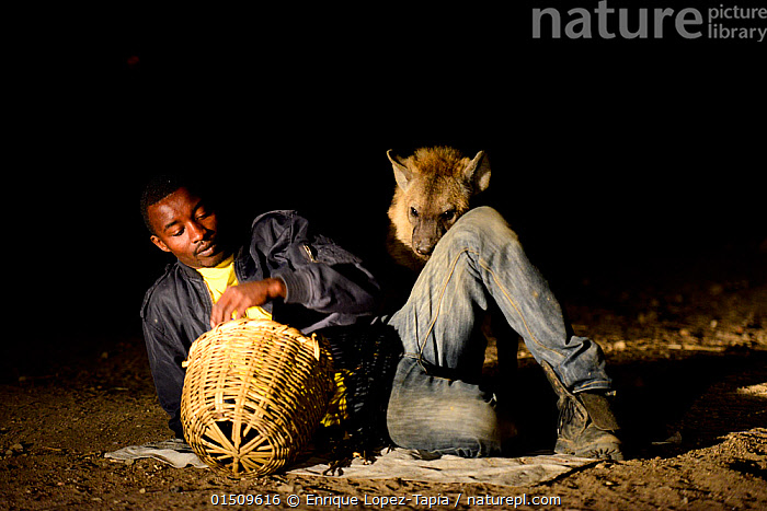 Man feeding Hyaenas (Crocuta crocuta) at night in Harar City, this has been a tradition for several centuries, and has now become a show for tourists. Ethiopia, November 2014, high15,,Animal,Vertebrate,Mammal,Carnivore,Hyaena,Spotted hyaenas,Spotted hyaena,Animalia,Animal,Wildlife,Vertebrate,Mammalia,Mammal,Carnivora,Carnivore,Hyaenidae,Hyaena,Hyena,Crocuta,Spotted hyaenas,Crocuta crocuta,Spotted hyaena,Crocuta capensis,Crocuta cuvieri,Crocuta fisi,Lying down,Lying On Side,People,African Descent,East African Descent,Ethiopian Ethnicity,Man,Bizarre,Weird,Tame,Docile,1 Person,Single,Single Person,Africa,East Africa,Ethiopia,Container,Containers,Basket,Baskets,Clothing,Trousers,Pant,Pants,Trouser,Jeans,Outdoors,Open Air,Outside,Night,Feeding,Interesting,Lying on ground,Harar City,,,urban,, Enrique Lopez-Tapia