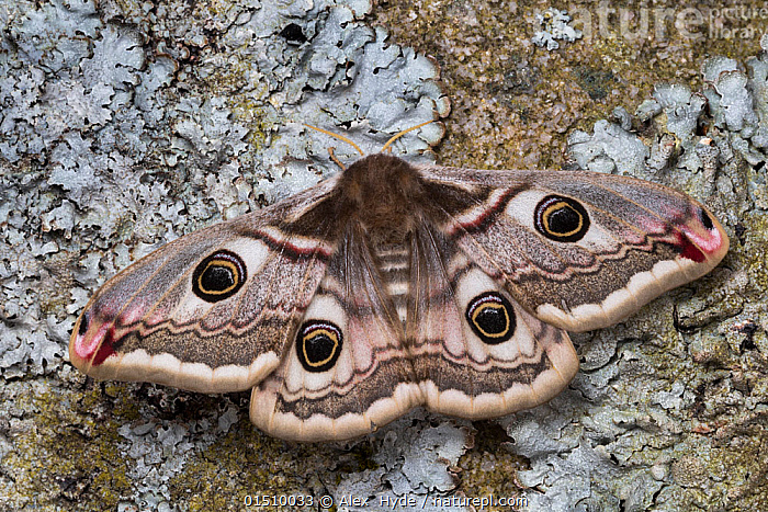 Emperor moth(Saturnia pavonia) female, Peak District National Park, UK. May.  ,  high15,,Animal,Arthropod,Insect,Saturniid,Emperor moth,Small emperor moth,Animalia,Animal,Wildlife,Hexapoda,Arthropod,Invertebrate,Hexapod,Arthropoda,Insecta,Insect,Lepidoptera,Lepidopterans,Saturniidae,Saturniid,Moth,Saturnia,Emperor moth,Saturnia pavonia,Small emperor moth,Pavonia pavonia,Phalaena pavonia,Eudia pavonia,Waiting,Symmetry,Colour,Brown,Nobody,Pattern,Patterned,Patterns,Europe,Western Europe,UK,Great Britain,England,Close Up,Female animal,Wing,Wings,Outdoors,Open Air,Outside,Day,Reserve,Protected area,National Park,Wings spread,Wingspan,Animal marking,Brown Colour,  ,  Alex  Hyde