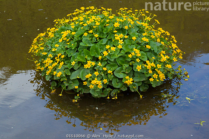 Marsh Marigold (Caltha palustris) in flower, River Wye, Monsal Dale, Peak Distict National Park, Derbyshire, UK. May.  ,  Plant,Vascular plant,Flowering plant,Dicot,Marsh marigold,Yellow marshmarigold,Plantae,Plant,Tracheophyta,Vascular plant,Magnoliopsida,Flowering plant,Angiosperm,Seed plant,Spermatophyte,Spermatophytina,Angiospermae,Ranunculales,Dicot,Dicotyledon,Ranunculanae,Ranunculaceae,Caltha,Marsh marigold,Caltha palustris,Yellow marshmarigold,Yellow marsh marigold,Kingcup,Trollius paluster,Caltha arctica,Caltha asarifolia,Colour,Yellow,Europe,Western Europe,UK,Great Britain,England,Derbyshire,Flower,Yellow Colour  ,  Alex  Hyde