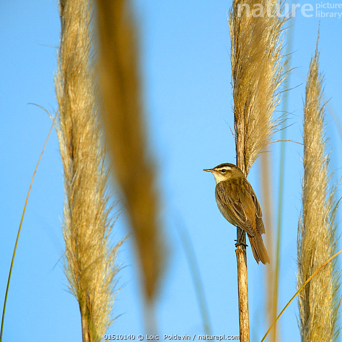 Aquatic warbler (Acrocephalus schoenobaenus) Breton Marsh, Vendee, France, May., catalogue8,,Animal,Vertebrate,Bird,Birds,Songbird,Acrocephalid warbler,Marsh warbler,Sedge warbler,Animalia,Animal,Wildlife,Vertebrate,Aves,Bird,Birds,Passeriformes,Songbird,Passerine,Acrocephalidae,Acrocephalid warbler,Warbler,Acrocephalus,Marsh warbler,Reed warbler,Acrocephalus schoenobaenus,Sedge warbler,European sedge warbler,Waiting,Alertness,Alert,Patience,Colour,Brown,Nobody,Europe,Western Europe,France,Pays de la Loire,Profile,Side View,Camera Focus,Selective Focus,Focus On Background,Focus On Backgrounds,Plant,Grass Family,Reed,Reeds,Sky,Clear Sky,Outdoors,Open Air,Outside,Day,Grassland,Pampas,Wetland,Shallow depth of field,Low depth of field,Blue sky,Breton Marsh,Marais Breton,Brown Colour,Vendee,, Loic  Poidevin