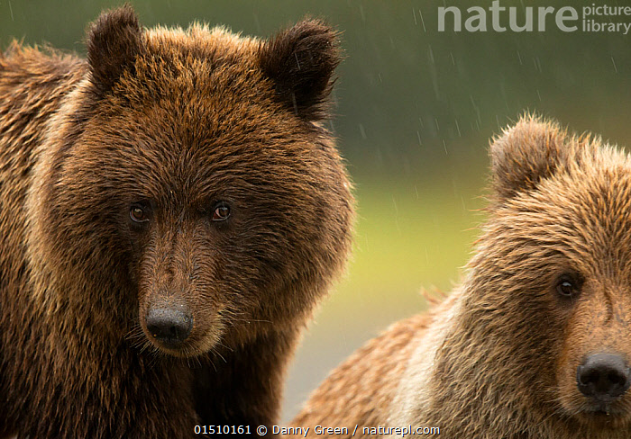 Coastal brown bear (Ursus arctos) and cub, Lake Clarke National Park, Alaska, September., high15,,Animal,Vertebrate,Mammal,Carnivore,Bear,Brown Bear,American,Animalia,Animal,Wildlife,Vertebrate,Mammalia,Mammal,Carnivora,Carnivore,Ursidae,Bear,Ursus,Ursus arctos,Brown Bear,Colour,Brown,Side By Side,Two,Nobody,North America,USA,Western USA,Alaska,Close Up,Portrait,Ear,Animal Ears,Ears,Hair,Fur,Outdoors,Open Air,Outside,Day,Reserve,Family,Mother baby,Mother-baby,mother,Protected area,National Park,Two animals,Direct Gaze,Parent baby,Ears Pricked,American,Brown Colour,Animal Hair,United States of America,, Danny Green