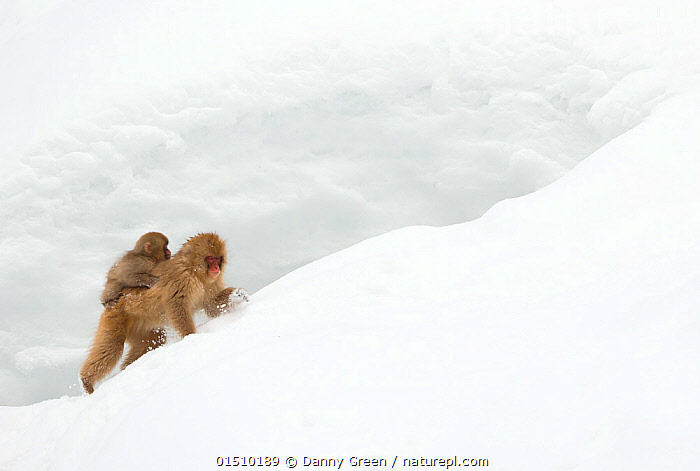 Japanese Macaque (Macaca fuscata) carrying young on back through snow, Nagano, Japan, February  ,  catalogue8,,Animal,Vertebrate,Mammal,Monkey,Macaque,Japanese macaque,Animalia,Animal,Wildlife,Vertebrate,Mammalia,Mammal,Primate,Primates,Cercopithecidae,Monkey,Old World Monkeys,Macaca,Macaque,Papionini,Macaca fuscata,Japanese macaque,Carries,Carry,Passenger,Passengers,Adversity,Difficult,Difficulty,Effort,Exertion,Trying,Two,Nobody,Temperature,Cold,Asia,East Asia,Japan,Chubu,Nagano Prefecture,Nagano,Nagano Shi,Copy Space,Hair,Fur,Snow,Outdoors,Open Air,Outside,Winter,Day,Nature,Natural,Natural World,Wild,Animal Behaviour,Parental behaviour,Family,Mother baby,Behaviour,Mother-baby,mother,Parental,Two animals,Negative space,Parent baby,Carrying on back,Gradient,Uphill,Animal Hair,  ,  Danny Green