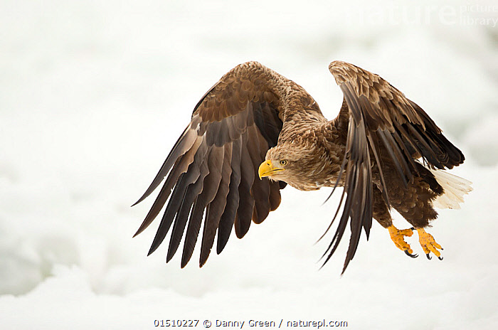 White tailed eagle (Haliaeetus albicilla) in flight with snowy background, Rausu, Japan, February  ,  high15,,Animal,Vertebrate,Bird,Birds,Sea eagle,White tailed sea eagle,Animalia,Animal,Wildlife,Vertebrate,Aves,Bird,Birds,Accipitriformes,Accipitridae,Haliaeetus,Sea eagle,Eagle,Bird of prey,Raptor,Haliaeetus albicilla,White tailed sea eagle,White tailed eagle,Flying,Determination,Focus,Threat,Menace,Menaces,Menacing,Threatening,Threats,Nobody,Asia,East Asia,Japan,Hokkaido,Rausu,Feather,Feathers,Wing,Wings,Snow,Outdoors,Open Air,Outside,Winter,Day,Predator,Predators,Nature,Natural,Natural World,Power In Nature,Power,Powerful,Wild,Flight,Plumage,Surveying,Survey,Focused,Wings Up,  ,  Danny Green