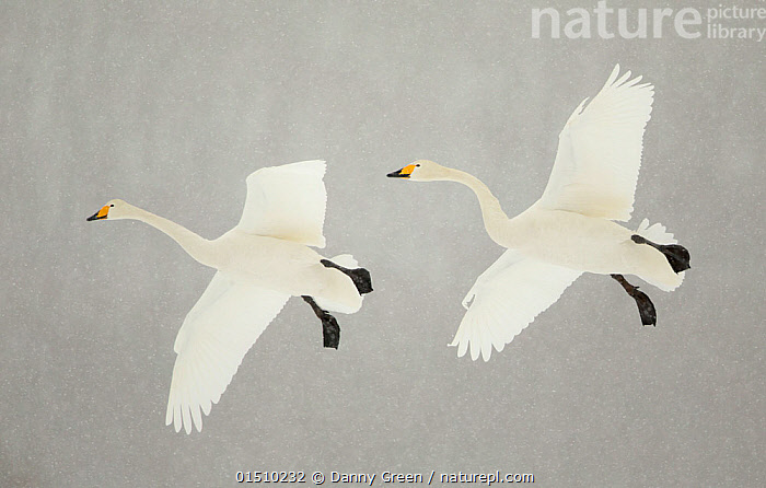 Whooper swans (Cygnus cygnus) two in flight, during snowfall, Lake Kussharo, Japan, February  ,  high15,,Animal,Vertebrate,Bird,Birds,Water fowl,Waterfowl,True swan,Whooper swan,Animalia,Animal,Wildlife,Vertebrate,Aves,Bird,Birds,Anseriformes,Water fowl,Galloanserans,Waterfowl,Anatidae,Cygnus,True swan,Swan,Cygninae,Anserinae,Cygnus cygnus,Whooper swan,Copying,Copies,Copy,Flying,Moving After,Following,Follow,Follows,On The Move,Colour,White,Two,Nobody,Asia,East Asia,Japan,Coloured Background,Grey Background,Gray Background,Full Length,Full Lengths,Whole,Wing,Wings,Snow,Weather,Snowing,Snowfall,Outdoors,Open Air,Outside,Winter,Day,Flight,Wings spread,Wingspan,Adverse conditions,Two animals,Moving,White colour,Winter Wonderland,Lake Kussharo,Wildfowl  ,  Danny Green