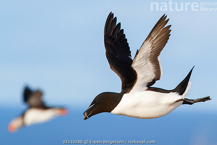 Razorbills (Alca torda) in flight, with Atlantic puffin (Fratercula arctica) behind, Hornoya, Norway. March, high15,,Animal,Vertebrate,Bird,Birds,Auk,Razorbill,Puffin,Atlantic puffin,Animalia,Animal,Wildlife,Vertebrate,Aves,Bird,Birds,Charadriiformes,Alcidae,Auk,Seabird,Alca,Razorbill,Alca torda,Fratercula,Puffin,Fratercula arctica,Atlantic puffin,Common puffin,Determination,Direction,Rebellion,Disobedience,Disobedient,Rebel,Rebellions,Rebels,Revolutionary,Two,Nobody,Pattern,Patterned,Patterns,Europe,Northern Europe,North Europe,Nordic Countries,Scandinavia,Norway,Profile,Black And White,B/W,Monochromatic,Side View,Camera Focus,Selective Focus,Focus On Foreground,Focus On Foregrounds,Outdoors,Open Air,Outside,Day,Marine,Water,Saltwater,Sea,Two animals,Shallow depth of field,Low depth of field,Animal marking,Purpose,Finnmark,Hornoya,Seabird,Seabirds,Marine bird,Marine birds,Pelagic bird,Pelagic birds, Espen Bergersen