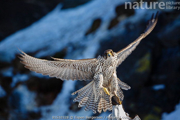 Gyrfalcon (Falco rusticolus) in flight with guillemot prey. Hornoya birdcliff. Finnmark, Norway. March  ,  high15,,Animal,Vertebrate,Bird,Birds,Birds of prey,Falcon,Gyrfalcon,Falco rupicolis,Animalia,Animal,Wildlife,Vertebrate,Aves,Bird,Birds,Falconiformes,Birds of prey,Raptor,Falconidae,Falco,Falcon,Falco rusticolus,Gyrfalcon,Gyr,Jerfalcon,Gerfalcon,Flying,Strength,Nobody,Pattern,Patterned,Patterns,Europe,Northern Europe,North Europe,Nordic Countries,Scandinavia,Norway,Close Up,Front View,View From Front,Claw,Claws,Talon,Talons,Wing,Wings,Snow,Outdoors,Open Air,Outside,Winter,Day,Predator,Predators,Animal Behaviour,Predation,Behaviour,Flight,Wings spread,Wingspan,Animal marking,Prey,Finnmark,Falco rupicolis,Hornoya,  ,  Espen Bergersen