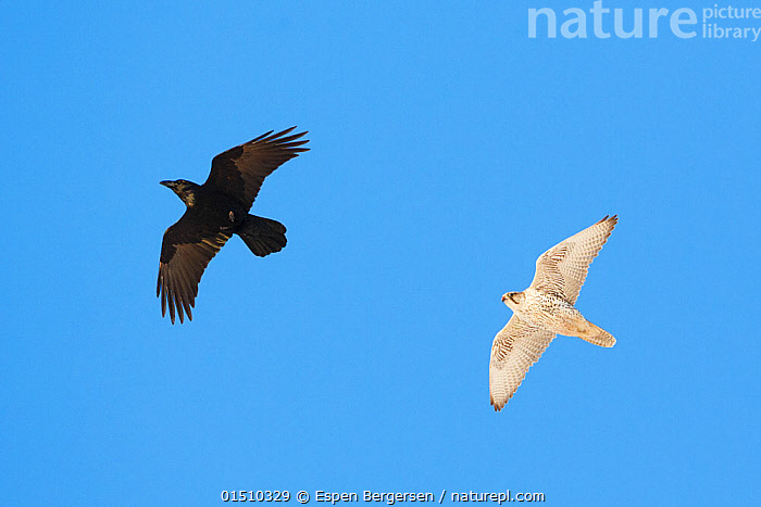 Gyrfalcon (Falco rusticolus) and Raven (Corvus corax) in flight, Hornoya bird cliff, Finnmark, Norway. March  ,  high15,,Animal,Vertebrate,Bird,Birds,Birds of prey,Falcon,Gyrfalcon,Songbird,Crow,Common raven,Falco rupicolis,Animalia,Animal,Wildlife,Vertebrate,Aves,Bird,Birds,Falconiformes,Birds of prey,Raptor,Falconidae,Falco,Falcon,Falco rusticolus,Gyrfalcon,Gyr,Jerfalcon,Gerfalcon,Passeriformes,Songbird,Passerine,Corvidae,Crow,Corvid,Corvus,Corvus corax,Common raven,Northern raven,Great raven,Holarctic raven,Flying,Moving After,Following,Follow,Follows,Contrasts,Direction,On The Move,Colour,Black,White,Two,Nobody,Europe,Northern Europe,North Europe,Nordic Countries,Scandinavia,Norway,Coloured Background,Blue Background,Cutout,Wing,Wings,Sky,Clear Sky,Outdoors,Open Air,Outside,Day,Mixed species,Flight,Wings spread,Wingspan,Two animals,Moving,Blue sky,White colour,Purpose,Finnmark,Falco rupicolis,Hornoya,  ,  Espen Bergersen