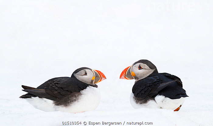 Atlantic puffin (Fratercula arctica) two calling aggresively in snow, Horn�ya birdcliff, Finnmark, Norway., high15,,Animal,Vertebrate,Bird,Birds,Auk,Puffin,Atlantic puffin,Animalia,Animal,Wildlife,Vertebrate,Aves,Bird,Birds,Charadriiformes,Alcidae,Auk,Seabird,Fratercula,Puffin,Fratercula arctica,Atlantic puffin,Common puffin,Advice,Advise,Advising,Conflict,Patience,Face To Face,Face Each Other,Facing Each Other,Two,Nobody,Pattern,Patterned,Patterns,Temperature,Cold,Europe,Northern Europe,North Europe,Nordic Countries,Scandinavia,Norway,Profile,Side View,Snow,Outdoors,Open Air,Outside,Day,Nature,Natural,Natural World,Wild,Animal Behaviour,Aggression,Fighting,Behaviour,Two animals,Animal marking,Finnmark,Extreme,Counselling,Hornoya,Seabird,Seabirds,Marine bird,Marine birds,Pelagic bird,Pelagic birds, Espen Bergersen