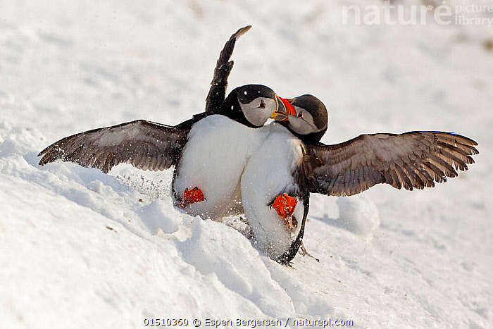 Atlantic puffin (Fratercula arctica) two fighting in snow, Hornoya bird cliff, Finnmark, Norway. March.  ,  high15,,Animal,Vertebrate,Bird,Birds,Auk,Puffin,Atlantic puffin,Animalia,Animal,Wildlife,Vertebrate,Aves,Bird,Birds,Charadriiformes,Alcidae,Auk,Seabird,Fratercula,Puffin,Fratercula arctica,Atlantic puffin,Common puffin,Playing,Play Fight,Play Fights,Sibling,Siblings,Conflict,Rivalry,Rival,Rivals,Two,Nobody,Europe,Northern Europe,North Europe,Nordic Countries,Scandinavia,Norway,Hill,Hills,Hillside,Hillsides,Snow,Outdoors,Open Air,Outside,Winter,Day,Animal Behaviour,Aggression,Fighting,Family,Behaviour,Play,Playful,Two animals,Finnmark,Extreme,Messing About,Arm around,Hornoya,Seabird,Seabirds,Marine bird,Marine birds,Pelagic bird,Pelagic birds  ,  Espen Bergersen