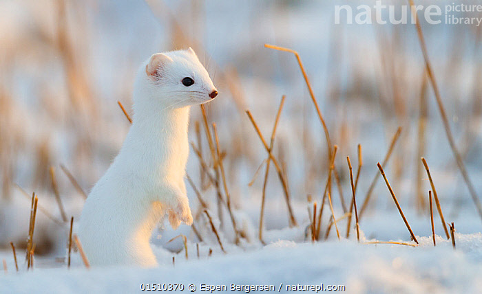 Stoat (Mustela erminea) in winter coat, Andoy, Norway, high15,,Animal,Vertebrate,Mammal,Carnivore,Mustelid,Stoat,Animalia,Animal,Wildlife,Vertebrate,Mammalia,Mammal,Carnivora,Carnivore,Mustelidae,Mustelid,Mustela,Mustela erminea,Stoat,Ermine,Short-tailed Weasel,Standing,Alertness,Alert,Camouflage,Curiosity,Colour,White,Nobody,Europe,Northern Europe,North Europe,Nordic Countries,Scandinavia,Norway,Portrait,Hair,Fur,Light,Lights,Sunlight,Snow,Outdoors,Open Air,Outside,Winter,Day,Animal Behaviour,Predation,Colour-phases,Winter coat,Behaviour,Sentry behaviour,Standing on hind legs,White colour,Prey,Animal Hair,, Espen Bergersen