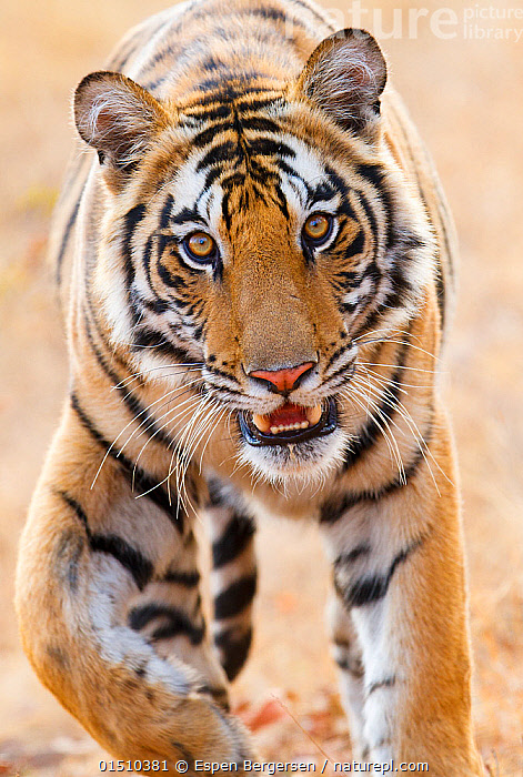 Bengal tiger (Panthera tigris tigris) portrait, Bandhavgarh, India.  ,  high15,,Animal,Vertebrate,Mammal,Carnivore,Cat,Big cat,Tiger,Bengal tiger,Animalia,Animal,Wildlife,Vertebrate,Mammalia,Mammal,Carnivora,Carnivore,Felidae,Cat,Panthera,Big cat,Panthera tigris,Tiger,Felis tigris,Tigris striatus,Tigris regalis,Walking,Curiosity,Focus,Nobody,Pattern,Patterned,Patterns,Asia,Indian Subcontinent,India,Front View,View From Front,Animal Nose,Nose,Noses,Outdoors,Open Air,Outside,Day,Reserve,Bengal tiger,Indian tiger,Protected area,National Park,Whiskers,Direct Gaze,Madhya Pradesh,Animal marking,Focused,Bandhavgarh National Park,Endangered species,threatened,Endangered  ,  Espen Bergersen