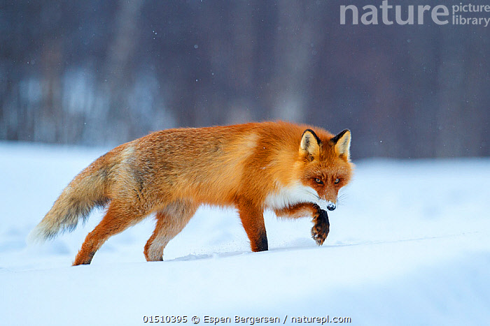 Red fox (Vulpes vulpes) walking through snow, Lapland, Finland, March.  ,  high15,,Animal,Vertebrate,Mammal,Carnivore,Canid,True fox,Red fox,Animalia,Animal,Wildlife,Vertebrate,Mammalia,Mammal,Carnivora,Carnivore,Canidae,Canid,Vulpes,True fox,Vulpini,Caninae,Vulpes vulpes,Red fox,Walking,Dishonesty,Stealth,Threat,Menace,Menaces,Menacing,Threatening,Threats,Nobody,Europe,Northern Europe,North Europe,Nordic Countries,Finland,Full Length,Full Lengths,Whole,Side View,Snow,Outdoors,Open Air,Outside,Winter,Day,Lapland,Sly,  ,  Espen Bergersen