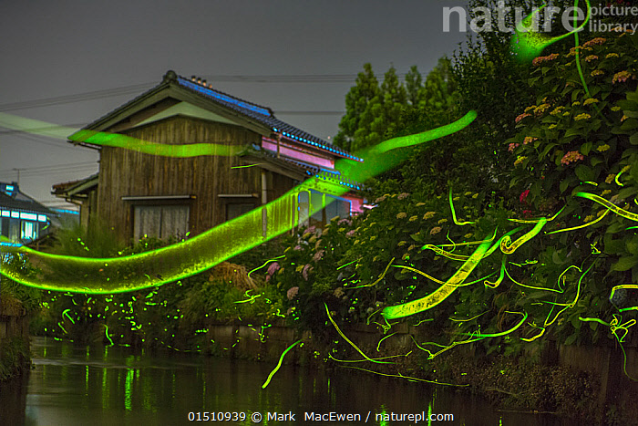 Japanese firefly (Luciola cruciata) light trails at night above stream in rural Japan. June.  ,  catalogue8,,Animal,Arthropod,Insect,Beetle,Firefly,Japanese firefly,Animalia,Animal,Wildlife,Hexapoda,Arthropod,Invertebrate,Hexapod,Arthropoda,Insecta,Insect,Coleoptera,Beetle,Endopterygota,Neoptera,Lampyridae,Firefly,Lightning bug,Glowworm,Elateroidea,Polyphaga,Luciola,Japanese firefly,Flashing firefly,Luciola cruciata,Japanese aquatic firefly,Genji firefly,Flying,Astonishing,Magic,Magical,On The Move,Colour,Green,Nobody,Luminosity,Asia,East Asia,Japan,Photographic Effect,Long Exposure,Light Trail,Light Trails,Streaming,Building,Building Exterior,Residential Structure,House,Houses,Light,Lights,Flowing Water,River,Stream,Streams,Outdoors,Open Air,Outside,Night,Nature,Natural,Natural World,Wild,Countryside,Freshwater,Water,Phenomenon,Bioluminescent,Bioluminescence,Flight,Moving,Green colour,Lit Up,Sci-fi,Belidae,,,bioluminescence,  ,  Mark  MacEwen
