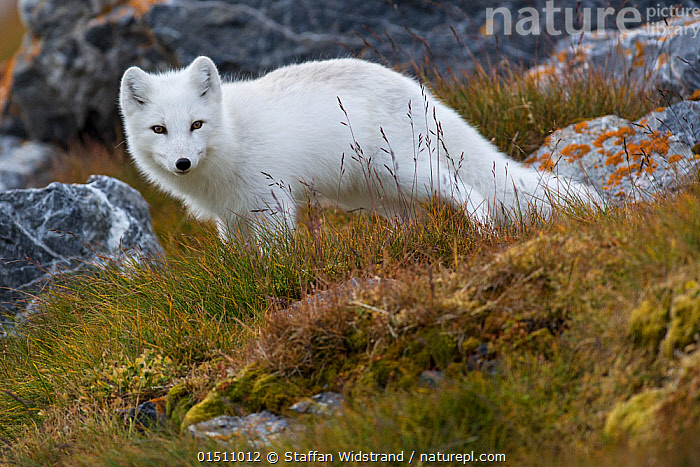White Arctic fox (Alopex lagopus) in its winter fur looking at the camera, Svalbard, Norway, Arctic, September, high15,,Animal,Vertebrate,Mammal,Carnivore,Canid,True fox,Arctic fox,Animalia,Animal,Wildlife,Vertebrate,Mammalia,Mammal,Carnivora,Carnivore,Canidae,Canid,Vulpes,True fox,Vulpini,Caninae,Vulpes lagopus,Arctic fox,Polar fox,Blue fox,Ice fox,White fox,Alopex lagopus,Canis lagopus,Dishonesty,Stealth,Threat,Menace,Menaces,Menacing,Threatening,Threats,Meaness,Meanness,Colour,White,Nobody,Europe,Northern Europe,North Europe,Nordic Countries,Scandinavia,Norway,Svalbard,Side View,Hair,Fur,Hill,Hills,Hillside,Hillsides,Outdoors,Open Air,Outside,Day,Colour-phases,Winter coat,Direct Gaze,White colour,Animal Hair,Sly,, Staffan Widstrand