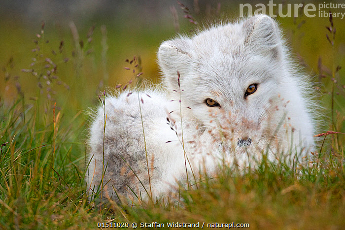 Arctic fox (Vulpes lagopus) in winter coat, resting in grass, Spitsbergen, Svalbard, Norway, September.  ,  high15,,Animal,Vertebrate,Mammal,Carnivore,Canid,True fox,Arctic fox,Animalia,Animal,Wildlife,Vertebrate,Mammalia,Mammal,Carnivora,Carnivore,Canidae,Canid,Vulpes,True fox,Vulpini,Caninae,Vulpes lagopus,Arctic fox,Polar fox,Blue fox,Ice fox,White fox,Alopex lagopus,Canis lagopus,Resting,Rest,Flirting,Curiosity,Nobody,Europe,Northern Europe,North Europe,Nordic Countries,Scandinavia,Norway,Svalbard,Close Up,Front View,View From Front,Portrait,Plant,Grass Family,Grass,Grasses,Hair,Fur,Clothing,Outerwear,Coat,Coats,Overcoat,Overcoats,Outdoors,Open Air,Outside,Winter,Day,Beautiful,Colour-phases,Winter coat,Direct Gaze,Curled up,Spitsbergen,Animal Hair,Coy,  ,  Staffan Widstrand