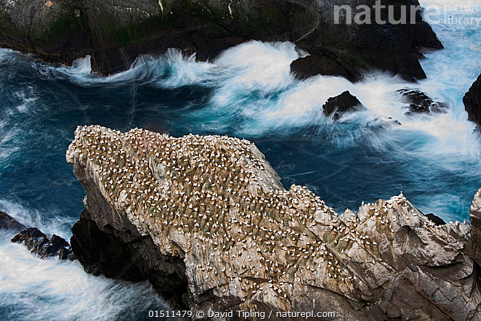 Northern gannet (Sula bassana) colony, Hermaness, Unst, Shetland Scotland, UK, April.  ,  catalogue8,,Animal,Vertebrate,Bird,Birds,Phalacrocoraciformes,Sulid,Gannet,Northern gannet,Animalia,Animal,Wildlife,Vertebrate,Aves,Bird,Birds,Suliformes,Phalacrocoraciformes,Sulidae,Sulid,Morus,Gannet,Morus bassanus,Northern gannet,North Atlantic gannet,Atlantic gannet,Sula bassana,Alone,Solitude,Solitary,Unity,Group Of Animals,Animal Colony,Group,Large Group,Nobody,Europe,Western Europe,UK,Great Britain,Scotland,Shetland,High Angle View,Photographic Effect,Long Exposure,Wave,Outdoors,Open Air,Outside,Day,Coast,Coastal,Heavy seas,Multitude,Elevated view,Unst,Hermaness,Seabird,Seabirds,Marine bird,Marine birds,Pelagic bird,Pelagic birds  ,  David Tipling