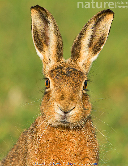 European brown hare (Lepus europaeus) portrait in wheat field, Norfolk, England, UK, March., high15,,Animal,Vertebrate,Mammal,Lagomorph,Leporid,Hare,Brown Hare,Animalia,Animal,Wildlife,Vertebrate,Mammalia,Mammal,Lagomorpha,Lagomorph,Leporidae,Leporid,Lepus,Hare,Lepus europaeus,Brown Hare,European Brown Hare,European Hare,Eulagos europaeus,Alertness,Alert,Cute,Adorable,Nobody,Easter,Europe,Western Europe,UK,Great Britain,England,Norfolk,Front View,View From Front,Portrait,Ear,Animal Ears,Ears,Animal Eye,Animal Eyes,Eye,Eyes,Animal Nose,Nose,Noses,Cultivated Land,Fields,Outdoors,Open Air,Outside,Day,Farmland,Whiskers,Direct Gaze,Ears Pricked,Animal portrait,, David Tipling