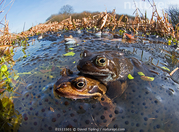 Common frogs (Rana temporaria) mating surrounded by spawn in pond, West Runton North Norfolk, England, UK, March.  ,  high15,,Animal,Vertebrate,Frog,European Common Frog,Animalia,Animal,Wildlife,Vertebrate,Amphibia,Anura,Frog,Ranidae,Rana,Rana temporaria,European Common Frog,Rana honnorati,Rana platyrrhinus,Rana muta,Reproducing,Reproduce,Reproduction,Close To,Close,On Top Of,Two,Nobody,Europe,Western Europe,UK,Great Britain,England,Norfolk,Animal Eggs,Egg,Eggs,Spawn,Frogspawn,Frogs Spawn,Outdoors,Open Air,Outside,Day,Freshwater,Pond,Water,Habitat,Animal Behaviour,Mating Behaviour,Copulation,Behaviour,Two animals,Amphibian,West Runton,  ,  David Tipling