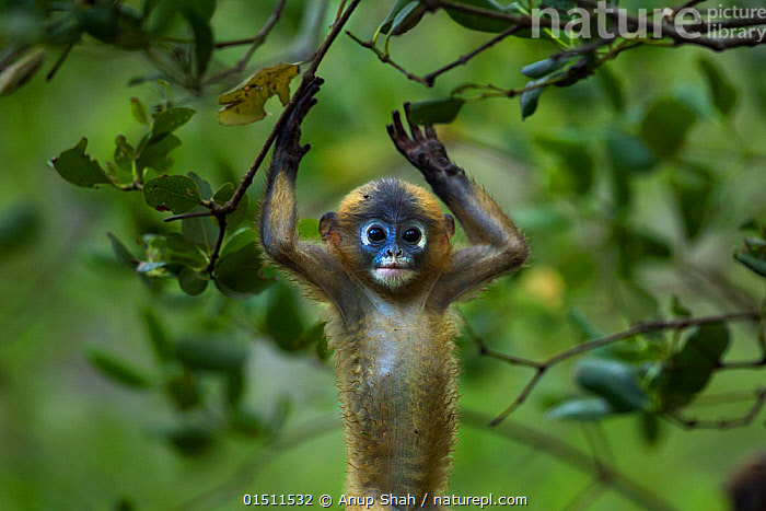 Dusky leaf monkey (Trachypithecus obscurus) baby playing . Khao Sam Roi Yot National Park, Thailand.  ,  high15,,Animal,Vertebrate,Mammal,Monkey,Lutang,Dusky Langur,Animalia,Animal,Wildlife,Vertebrate,Mammalia,Mammal,Primate,Primates,Cercopithecidae,Monkey,Old World Monkeys,Trachypithecus,Lutang,Trachypithecus obscurus,Dusky Langur,Dusky Leaf-monkey,Dusky Leaf Monkey,Spectacled Langur,Spectacled Leaf Monkey,Spectactled Langur,Gesturing,Arms Raised,Cute,Adorable,Surrender,Surrendering,Below,Beneath,Under,Underneath,Nobody,Asia,South East Asia,Thailand,Waist Up,Half Length,Front View,View From Front,Portrait,Young Animal,Juvenile,Babies,Outdoors,Open Air,Outside,Day,Animal Behaviour,Playing,Reserve,Behaviour,Play,Playful,Protected area,National Park,Khao Sam Roi Yot National Park,  ,  Anup Shah