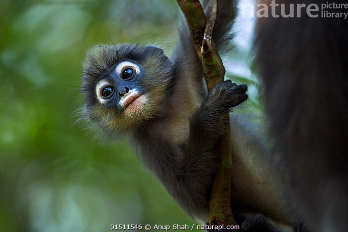 Dusky leaf monkey (Trachypithecus obscurus) baby playing  . Khao Sam Roi Yot National Park, Thailand. March 2015.  ,  Animal,Vertebrate,Mammal,Monkey,Lutang,Dusky Langur,Animalia,Animal,Wildlife,Vertebrate,Mammalia,Mammal,Primate,Primates,Cercopithecidae,Monkey,Old World Monkeys,Trachypithecus,Lutang,Trachypithecus obscurus,Dusky Langur,Dusky Leaf-monkey,Dusky Leaf Monkey,Spectacled Langur,Spectacled Leaf Monkey,Spectactled Langur,Asia,South East Asia,Thailand,Portrait,Young Animal,Juvenile,Babies,Animal Behaviour,Playing,Reserve,Behaviour,Play,Playful,Protected area,National Park  ,  Anup Shah