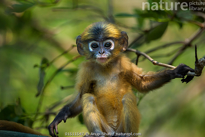 Dusky leaf monkey (Trachypithecus obscurus) baby portrait . Khao Sam Roi Yot National Park, Thailand.  ,  Animal,Vertebrate,Mammal,Monkey,Macaque,Crab-eating Macaque,Animalia,Animal,Wildlife,Vertebrate,Mammalia,Mammal,Primate,Primates,Cercopithecidae,Monkey,Old World Monkeys,Macaca,Macaque,Papionini,Macaca fascicularis,Crab-eating Macaque,Cynomolgus Monkey,Long-tailed Macaque,Cute,Adorable,Asia,South East Asia,Thailand,Portrait,Young Animal,Juvenile,Babies,Reserve,Protected area,National Park  ,  Anup Shah