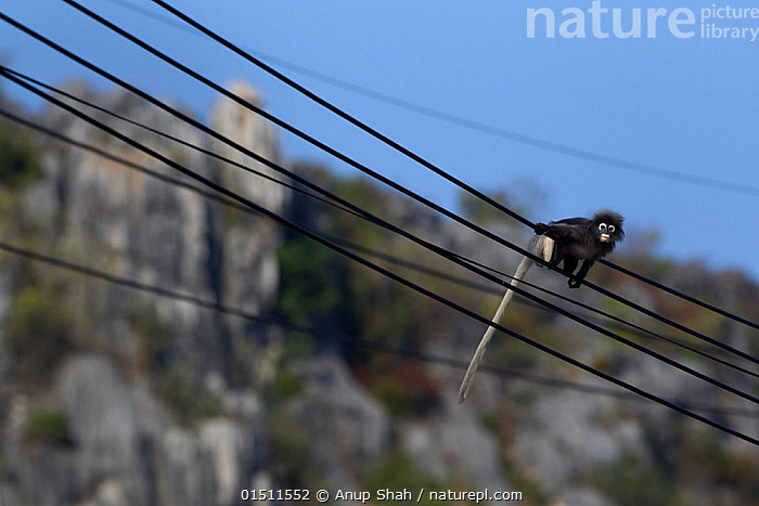 Dusky leaf monkey (Trachypithecus obscurus) walking along electric cables . Khao Sam Roi Yot National Park, Thailand. March 2015.  ,  Animal,Vertebrate,Mammal,Monkey,Macaque,Crab-eating Macaque,Animalia,Animal,Wildlife,Vertebrate,Mammalia,Mammal,Primate,Primates,Cercopithecidae,Monkey,Old World Monkeys,Macaca,Macaque,Papionini,Macaca fascicularis,Crab-eating Macaque,Cynomolgus Monkey,Long-tailed Macaque,Walking,Asia,South East Asia,Thailand,Wire,Reserve,Protected area,National Park,Overhead cables  ,  Anup Shah