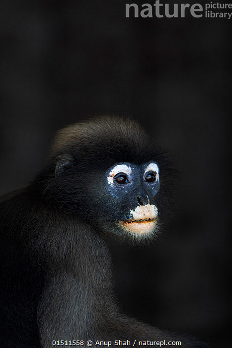 Dusky leaf monkey (Trachypithecus obscurus) male portrait. Khao Sam Roi Yot National Park, Thailand. March 2015.  ,  Animal,Vertebrate,Mammal,Monkey,Lutang,Dusky Langur,Animalia,Animal,Wildlife,Vertebrate,Mammalia,Mammal,Primate,Primates,Cercopithecidae,Monkey,Old World Monkeys,Trachypithecus,Lutang,Trachypithecus obscurus,Dusky Langur,Dusky Leaf-monkey,Dusky Leaf Monkey,Spectacled Langur,Spectacled Leaf Monkey,Spectactled Langur,Asia,South East Asia,Thailand,Copy Space,Portrait,Male Animal,Reserve,Protected area,National Park,Negative space  ,  Anup Shah