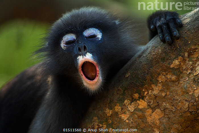Dusky leaf monkey (Trachypithecus obscurus) juvenile yawning . Khao Sam Roi Yot National Park, Thailand. March 2015.  ,  high15,,Animal,Vertebrate,Mammal,Monkey,Lutang,Dusky Langur,Animalia,Animal,Wildlife,Vertebrate,Mammalia,Mammal,Primate,Primates,Cercopithecidae,Monkey,Old World Monkeys,Trachypithecus,Lutang,Trachypithecus obscurus,Dusky Langur,Dusky Leaf-monkey,Dusky Leaf Monkey,Spectacled Langur,Spectacled Leaf Monkey,Spectactled Langur,Yawning,Resting,Rest,Relaxation,Rudeness,Insult,Insulting,Insults,Irreverence,Irreverent,Rude,Bad Manners,Ill Mannered,Colour,Black,White,Nobody,Pattern,Patterned,Patterns,Tiredness,Asia,South East Asia,Thailand,Close Up,Front View,View From Front,Portrait,Young Animal,Juvenile,Animal Eye,Animal Eyes,Eye,Eyes,Mouth,Hair,Fur,Outdoors,Open Air,Outside,Day,Reserve,Protected area,National Park,Animal marking,Open Mouth,White colour,Animal Hair,Khao Sam Roi Yot National Park,  ,  Anup Shah
