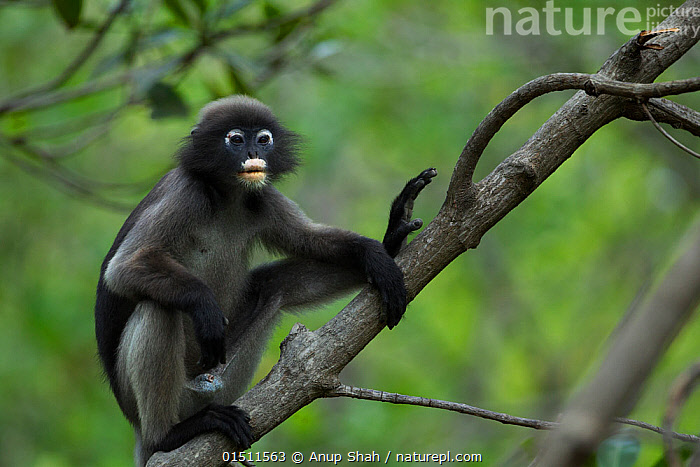 Dusky leaf monkey (Trachypithecus obscurus) male sitting in a tree . Khao Sam Roi Yot National Park, Thailand.  ,  Animal,Vertebrate,Mammal,Monkey,Lutang,Dusky Langur,Animalia,Animal,Wildlife,Vertebrate,Mammalia,Mammal,Primate,Primates,Cercopithecidae,Monkey,Old World Monkeys,Trachypithecus,Lutang,Trachypithecus obscurus,Dusky Langur,Dusky Leaf-monkey,Dusky Leaf Monkey,Spectacled Langur,Spectacled Leaf Monkey,Spectactled Langur,Asia,South East Asia,Thailand,Male Animal,Reserve,Protected area,National Park  ,  Anup Shah