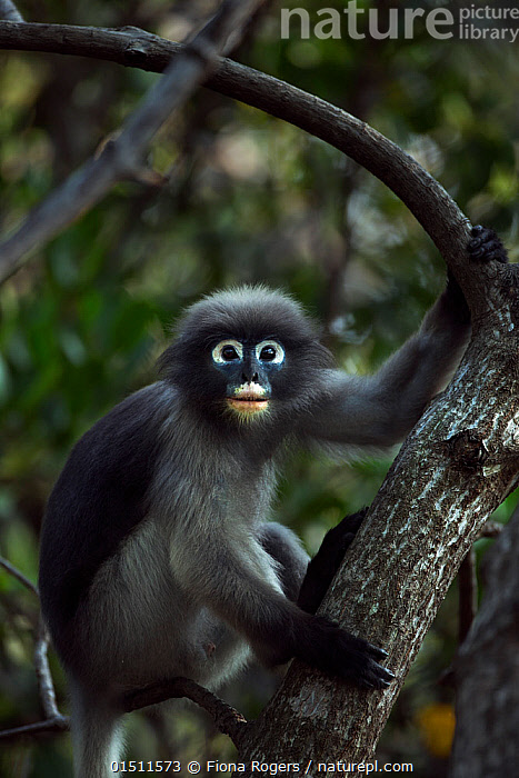 Dusky leaf monkey (Trachypithecus obscurus) male sitting in a tree . Khao Sam Roi Yot National Park, Thailand.  ,  Animal,Vertebrate,Mammal,Monkey,Lutang,Dusky Langur,Animalia,Animal,Wildlife,Vertebrate,Mammalia,Mammal,Primate,Primates,Cercopithecidae,Monkey,Old World Monkeys,Trachypithecus,Lutang,Trachypithecus obscurus,Dusky Langur,Dusky Leaf-monkey,Dusky Leaf Monkey,Spectacled Langur,Spectacled Leaf Monkey,Spectactled Langur,Asia,South East Asia,Thailand,Male Animal,Reserve,Protected area,National Park  ,  Fiona Rogers