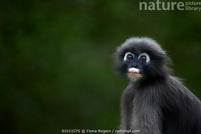 Dusky leaf monkey (Trachypithecus obscurus) juvenile portrait . Khao Sam Roi Yot National Park, Thailand.  ,  Animal,Vertebrate,Mammal,Monkey,Lutang,Dusky Langur,Animalia,Animal,Wildlife,Vertebrate,Mammalia,Mammal,Primate,Primates,Cercopithecidae,Monkey,Old World Monkeys,Trachypithecus,Lutang,Trachypithecus obscurus,Dusky Langur,Dusky Leaf-monkey,Dusky Leaf Monkey,Spectacled Langur,Spectacled Leaf Monkey,Spectactled Langur,Asia,South East Asia,Thailand,Copy Space,Portrait,Young Animal,Juvenile,Reserve,Protected area,National Park,Negative space  ,  Fiona Rogers