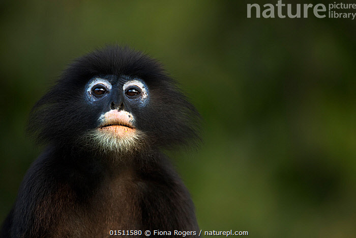 Dusky leaf monkey (Trachypithecus obscurus) male portrait . Khao Sam Roi Yot National Park, Thailand.  ,  Animal,Vertebrate,Mammal,Monkey,Lutang,Dusky Langur,Animalia,Animal,Wildlife,Vertebrate,Mammalia,Mammal,Primate,Primates,Cercopithecidae,Monkey,Old World Monkeys,Trachypithecus,Lutang,Trachypithecus obscurus,Dusky Langur,Dusky Leaf-monkey,Dusky Leaf Monkey,Spectacled Langur,Spectacled Leaf Monkey,Spectactled Langur,Asia,South East Asia,Thailand,Portrait,Reserve,Protected area,National Park  ,  Fiona Rogers