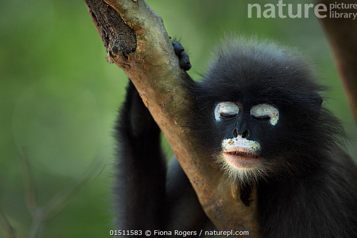 Dusky leaf monkey (Trachypithecus obscurus) juvenile portrait with eyes closed, Khao Sam Roi Yot National Park, Thailand. March 2015.  ,  Animal,Vertebrate,Mammal,Monkey,Lutang,Dusky Langur,Animalia,Animal,Wildlife,Vertebrate,Mammalia,Mammal,Primate,Primates,Cercopithecidae,Monkey,Old World Monkeys,Trachypithecus,Lutang,Trachypithecus obscurus,Dusky Langur,Dusky Leaf-monkey,Dusky Leaf Monkey,Spectacled Langur,Spectacled Leaf Monkey,Spectactled Langur,Sadness,Tiredness,Displeased,Asia,South East Asia,Thailand,Young Animal,Juvenile,Reserve,Protected area,National Park,,Exhausted,  ,  Fiona Rogers