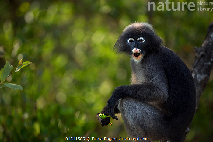Dusky leaf monkey (Trachypithecus obscurus) male feeding in a tree . Khao Sam Roi Yot National Park, Thailand. March 2015.  ,  Animal,Vertebrate,Mammal,Monkey,Lutang,Dusky Langur,Animalia,Animal,Wildlife,Vertebrate,Mammalia,Mammal,Primate,Primates,Cercopithecidae,Monkey,Old World Monkeys,Trachypithecus,Lutang,Trachypithecus obscurus,Dusky Langur,Dusky Leaf-monkey,Dusky Leaf Monkey,Spectacled Langur,Spectacled Leaf Monkey,Spectactled Langur,Asia,South East Asia,Thailand,Male Animal,Mouth,Feeding,Reserve,Protected area,National Park,Open Mouth  ,  Fiona Rogers