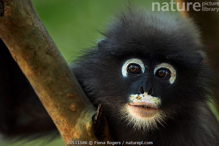 Dusky leaf monkey (Trachypithecus obscurus) juvenile portrait  . Khao Sam Roi Yot National Park, Thailand. March 2015.  ,  high15,,Animal,Vertebrate,Mammal,Monkey,Lutang,Dusky Langur,Animalia,Animal,Wildlife,Vertebrate,Mammalia,Mammal,Primate,Primates,Cercopithecidae,Monkey,Old World Monkeys,Trachypithecus,Lutang,Trachypithecus obscurus,Dusky Langur,Dusky Leaf-monkey,Dusky Leaf Monkey,Spectacled Langur,Spectacled Leaf Monkey,Spectactled Langur,Cute,Adorable,Trust,Trustful,Trusting,Colour,Black,White,Nobody,Fluffy,Pattern,Patterned,Patterns,Asia,South East Asia,Thailand,Close Up,Portrait,Plant,Branch,Branches,Animal Eye,Animal Eyes,Eye,Eyes,Animal Nose,Nose,Noses,Hair,Fur,Outdoors,Open Air,Outside,Day,Reserve,Protected area,National Park,Whiskers,Animal marking,White colour,Animal Hair,Khao Sam Roi Yot National Park,  ,  Fiona Rogers
