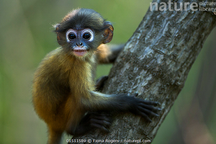 Dusky leaf monkey (Trachypithecus obscurus) baby on a branch . Khao Sam Roi Yot National Park, Thailand. March 2015.  ,  high15,,Animal,Vertebrate,Mammal,Monkey,Lutang,Dusky Langur,Animalia,Animal,Wildlife,Vertebrate,Mammalia,Mammal,Primate,Primates,Cercopithecidae,Monkey,Old World Monkeys,Trachypithecus,Lutang,Trachypithecus obscurus,Dusky Langur,Dusky Leaf-monkey,Dusky Leaf Monkey,Spectacled Langur,Spectacled Leaf Monkey,Spectactled Langur,Sitting,Glance,Glances,Glancing,Look Away,Looks Away,Cute,Adorable,Colour,White,Nobody,Pattern,Patterned,Patterns,Asia,South East Asia,Thailand,Close Up,Side View,Portrait,Young Animal,Juvenile,Babies,Plant,Branch,Branches,Animal Eye,Animal Eyes,Eye,Eyes,Hair,Fur,Outdoors,Open Air,Outside,Day,Reserve,Protected area,National Park,Animal marking,White colour,Animal Hair,Khao Sam Roi Yot National Park,Prachuap Khiri Khan Province,  ,  Fiona Rogers