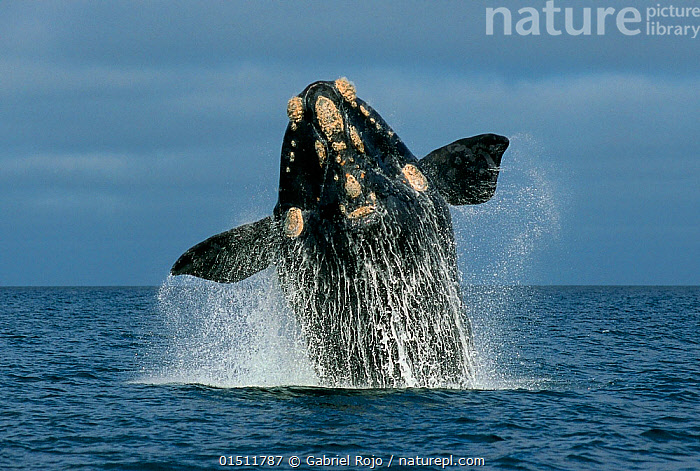 Southern Right whale (Eubalaena australis) breaching, Peninsula Valdes, Chubut, Patagonia, Argentina., high15,,Animal,Vertebrate,Mammal,Ceteacean,Right whale,Right whales,Southern right whale,Animalia,Animal,Wildlife,Vertebrate,Mammalia,Mammal,Cetacea,Ceteacean,Balaenidae,Right whale,Baleen whale,Mysteceti,Eubalaena,Right whales,Eubalaena australis,Southern right whale,Balaena australis,Eubalaena antarctica,Eubalaena antipodarum,Breaching,Splashing,Agility,Agile,Emergence,Coming Out,Emergance,Emerge,Emerges,Emerging,Strength,Nobody,Part Of,Latin America,South America,Argentina,Patagonia,Fin,Animal Flipper,Animal Flippers,Fins,Flippers,Ocean,Atlantic Ocean,Outdoors,Open Air,Outside,Day,Nature,Natural,Natural World,Power In Nature,Power,Powerful,Marine,Water,Animal Behaviour,Behaviour,Saltwater,Sea,Breaches,Surfacing,Dramatic,Surface,Water spray,Peninsula Valdez,Chubut,Marine, Gabriel Rojo