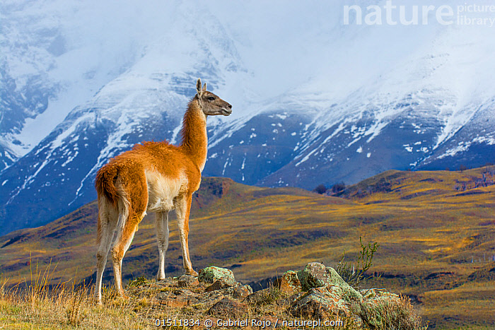 Guanaco (Lama guanicoe) in front of mountainous landscape, Torres del Paine National Park, Chile  ,  high15,,Animal,Vertebrate,Mammal,Camelid,Llama,Guanaco,Animalia,Animal,Wildlife,Vertebrate,Mammalia,Mammal,Artiodactyla,Even-toed ungulates,Camelidae,Camelid,Tylopoda,Lama,Llama,Lama guanicoe,Guanaco,glama guanicoe,Lama fera,Lama guanaco,Lama huanaca,Standing,Looking At A View,Waiting,Pride,Proud,In Front Of,Nobody,Latin America,South America,Chile,Patagonia,Full Length,Full Lengths,Whole,Profile,Side View,Mountain,Snow,Mist,Landscape,Landscapes,Outdoors,Open Air,Outside,Day,Habitat,Reserve,Protected area,National Park,Haughty,Torres del Paine National Park,  ,  Gabriel Rojo