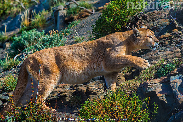 48bb4f546ac29 Nature Picture Library - Wild Cougar (Puma concolor) walking across ...