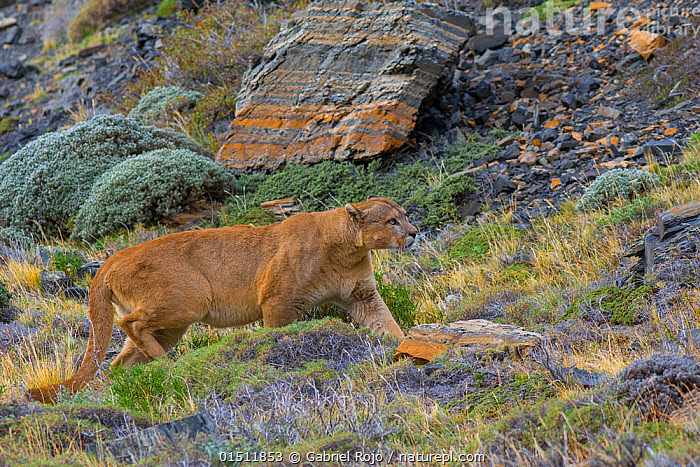 Wild puma (Puma concolor) walking across rocks, profile, Torres del Paine National Park, Chile., high15,,Animal,Vertebrate,Mammal,Carnivore,Cat,Puma,Cougar,Animalia,Animal,Wildlife,Vertebrate,Mammalia,Mammal,Carnivora,Carnivore,Felidae,Cat,Puma,Puma concolor,Cougar,Mountain Lion,Walking,On The Move,Stealth,Nobody,Latin America,South America,Chile,Patagonia,Profile,Side View,Rock,Outdoors,Open Air,Outside,Day,Nature,Natural,Natural World,Wild,Animals In The Wild,Animal In The Wild,Wild Animal,Wild Animals,Animal Behaviour,Predation,Stalking,Hunting,Reserve,Behaviour,Protected area,National Park,Moving,Careful,Gradient,Uphill,Rocky,Torres del Paine,Torres del Paine National Park,, Gabriel Rojo