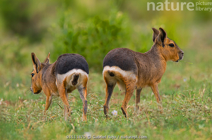 Patagonian cavy (Dolichotis patagonum ) rear view of two, La Pampa, Argentina.  ,  high15,,Animal,Vertebrate,Mammal,Rodent,Patagonian Cavy,Animalia,Animal,Wildlife,Vertebrate,Mammalia,Mammal,Rodentia,Rodent,Erethizontidae,Dolichotis,Dolichotis patagonum,Patagonian Cavy,Patagonian Hare,Patagonian Mara,Walking,Confusion,Dilemma,Dilemmas,Indecisive,Two,Nobody,Pattern,Patterned,Patterns,Latin America,South America,Argentina,Rear View,Rear End,Outdoors,Open Air,Outside,Day,Exploration,Relationship Difficulties,Separating,Two animals,Animal marking,Departure,La Pampa,Animal Rear,  ,  Gabriel Rojo