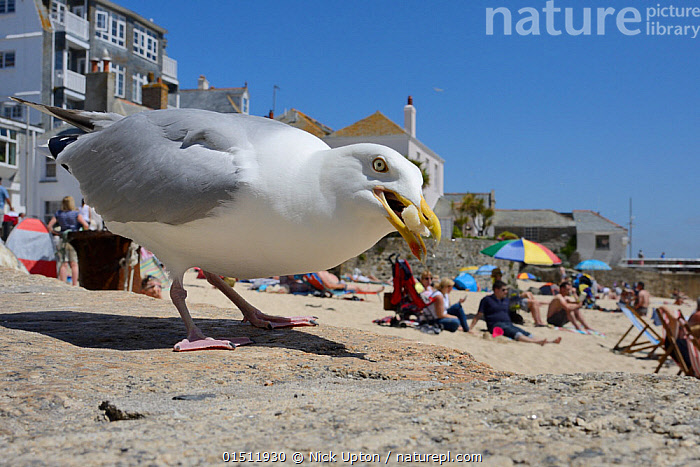 Adult Herring gull (Larus argentatus) scavenging left over food, St.Ives, Cornwall, UK, June. Editorial use only.  ,  high15,,Animal,Vertebrate,Bird,Birds,Gull,Larinae,Herring gull,Deckchair,Animalia,Animal,Wildlife,Vertebrate,Aves,Bird,Birds,Charadriiformes,Laridae,Gull,Seabird,Larus,Larinae,Larus argentatus,Herring gull,Standing,People,Criminal,Thief,Theft,Incidental People,Incidental Person,People In The Background,Background People,Background Person,People In Background,Person In Background,Scare,Scary,Size,Giant,Huge,Massive,Large,Big,Europe,Western Europe,UK,Great Britain,England,Cornwall,Close Up,Beak,Beaks,Food,Furnishing,Furniture,Seat,Chair,Chairs,Lounge Chair,Beach Chairs,Sun Lounger,Settlement,Town,Towns,Beach,Outdoors,Open Air,Outside,Summer,Day,Travel,Vacations,Coast,Coastal,Animal Behaviour,Feeding,Scavenging,Behaviour,Stealing,Seagulls,Seaside,Holding in mouth,Oversized,Surreal,Nuisance,Deckchair,  ,  Nick Upton