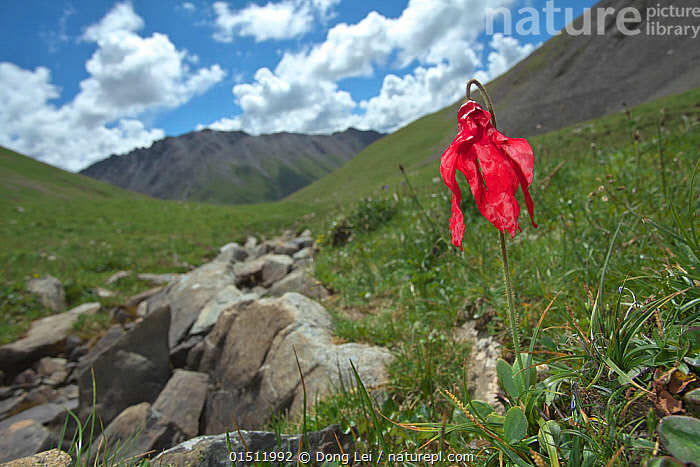 Poppy (Meconopsis punicea) in habitat, Serxu, Shiqu county, Sichuan Province, Qinghai-Tibet Plateau, China. August., high15,,Plant,Vascular plant,Flowering plant,Dicot,Plantae,Plant,Tracheophyta,Vascular plant,Magnoliopsida,Flowering plant,Angiosperm,Seed plant,Spermatophyte,Spermatophytina,Angiospermae,Ranunculales,Dicot,Dicotyledon,Ranunculanae,Papaveraceae,Fumariaceae,Meconopsis,Resilience,Resilient,Sadness,Alone,Solitude,Solitary,Wilted,Droop,Drooping,Droops,Droopy,Wilt,Wilting,Wilts,Withered,Withering,Colour,Red,Nobody,Asia,East Asia,China,Flower,Flowers,Mountain,Valley,Valleys,Sky,Cloud,Outdoors,Open Air,Outside,Day,Habitat,Sichuan Province,Plateau,One Object,Qinghai Tibetan Plateau,Meconopsis punicea,Serxu,, Dong Lei